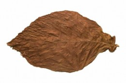 Connecticut Fronto Leaf